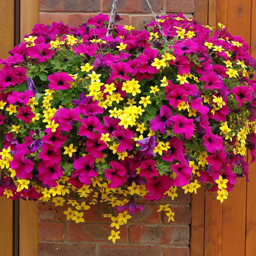 Hanging Basket Plants For Sale In The Uk Van Meuwen