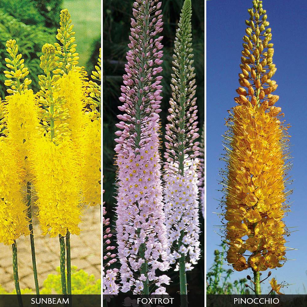 Foxtail Lily Collection Van Meuwen