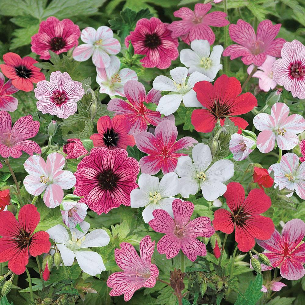 Cheap Hardy Geranium Plants For Sale Online Buy Hardy Geranium