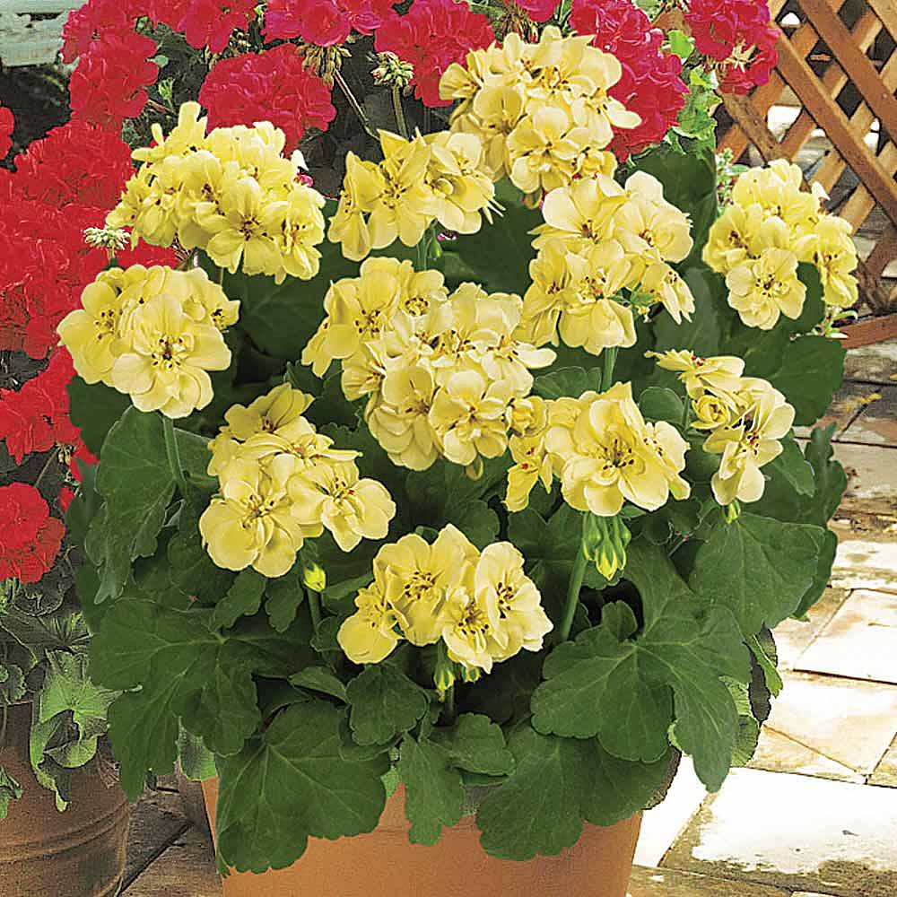Geranium First Yellow Improved Van Meuwen