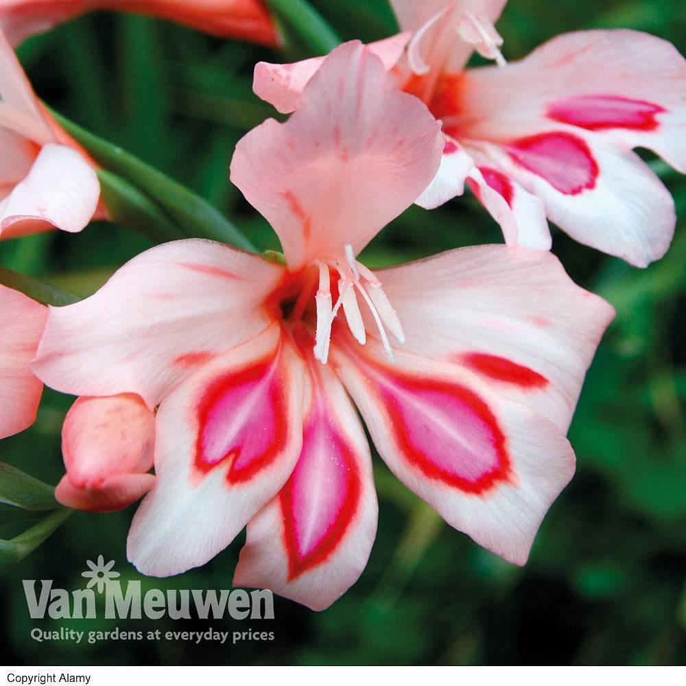 All Other Cheap Flower Bulbs Tubers Order Online Van Meuwen