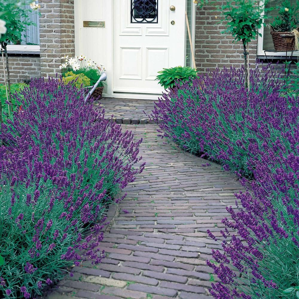 Lavender Munstead Lavandula Angustifolia English