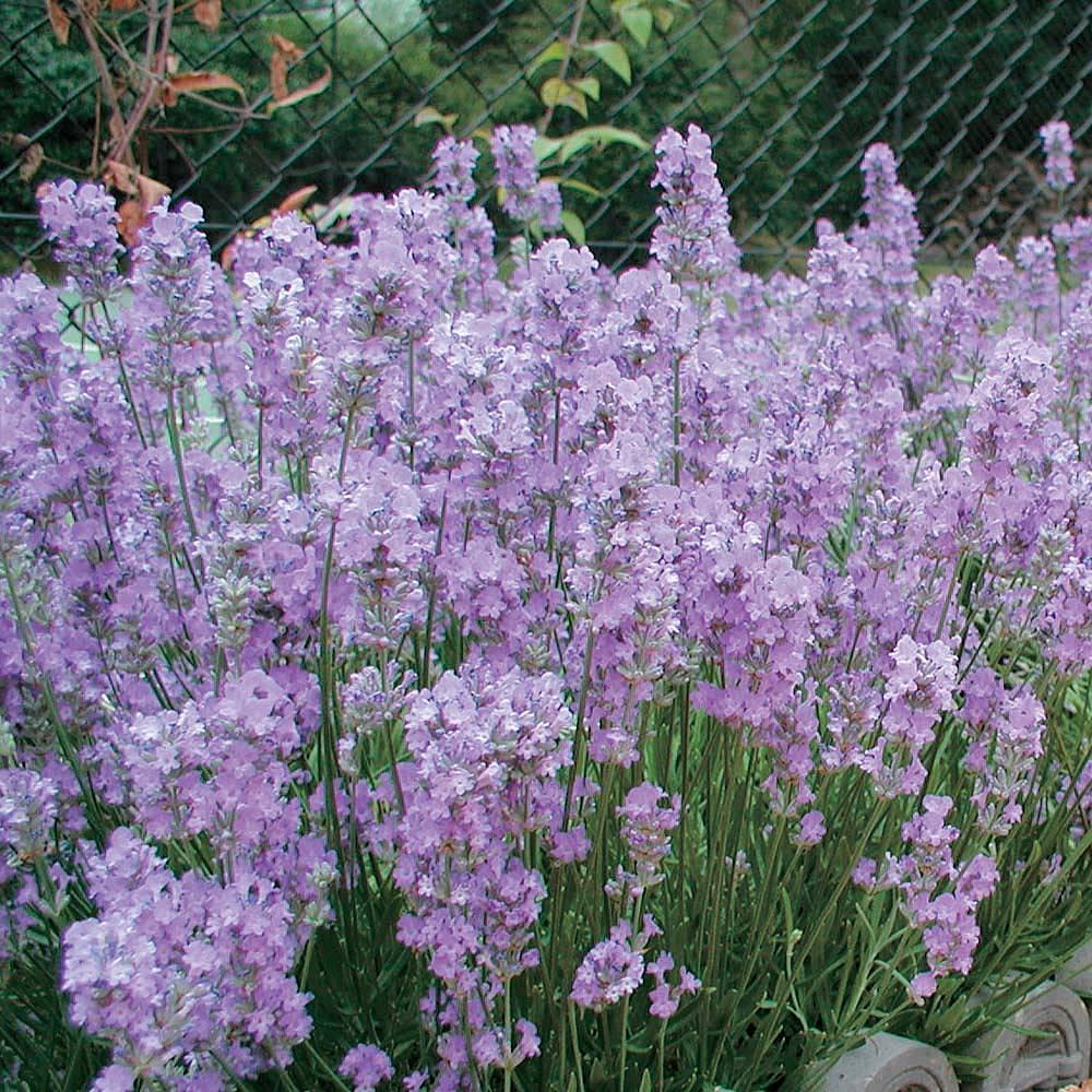 Lavender Little Lady Lavandula Angustifoliaenglish
