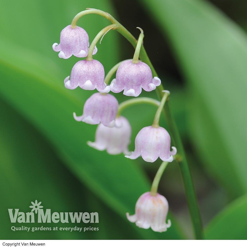 Cheap Woodland Flower Bulbs For Sale Online Buy Woodland Bulbs