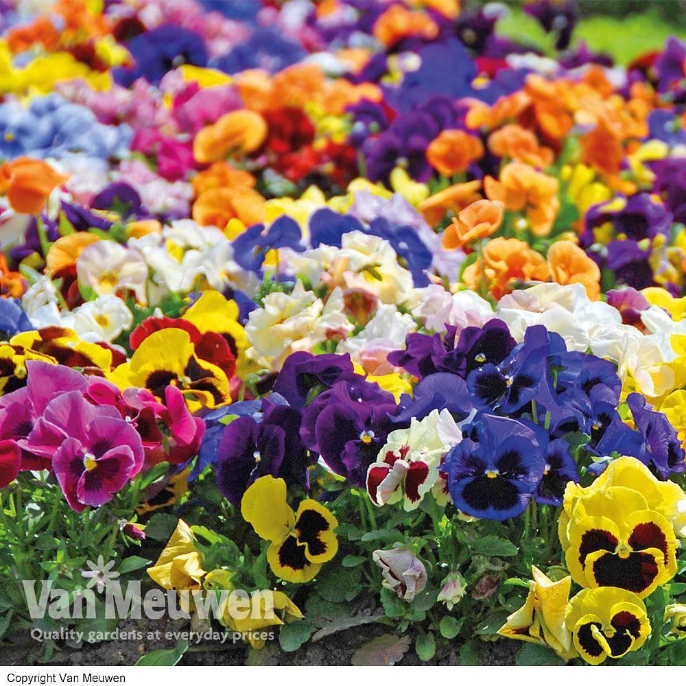 Cheap Childrens Flower Plants For Sale Online Van Meuwen
