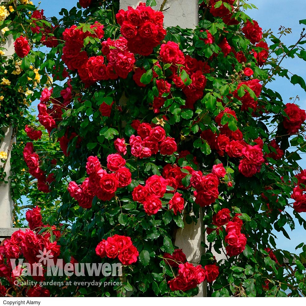 Cheap Climbing Roses For Sale Online Buy A Climbing Rose Plant Uk