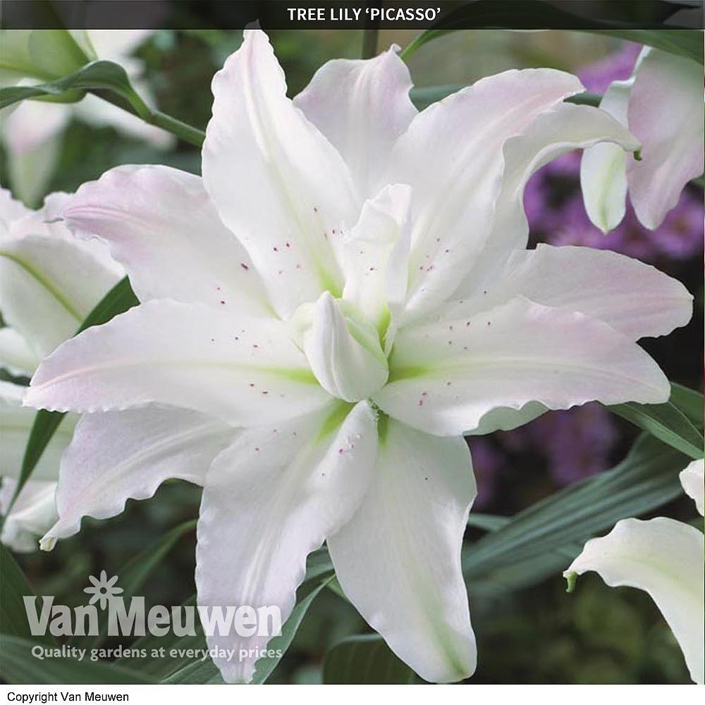Tree lily crystal collection van meuwen next izmirmasajfo