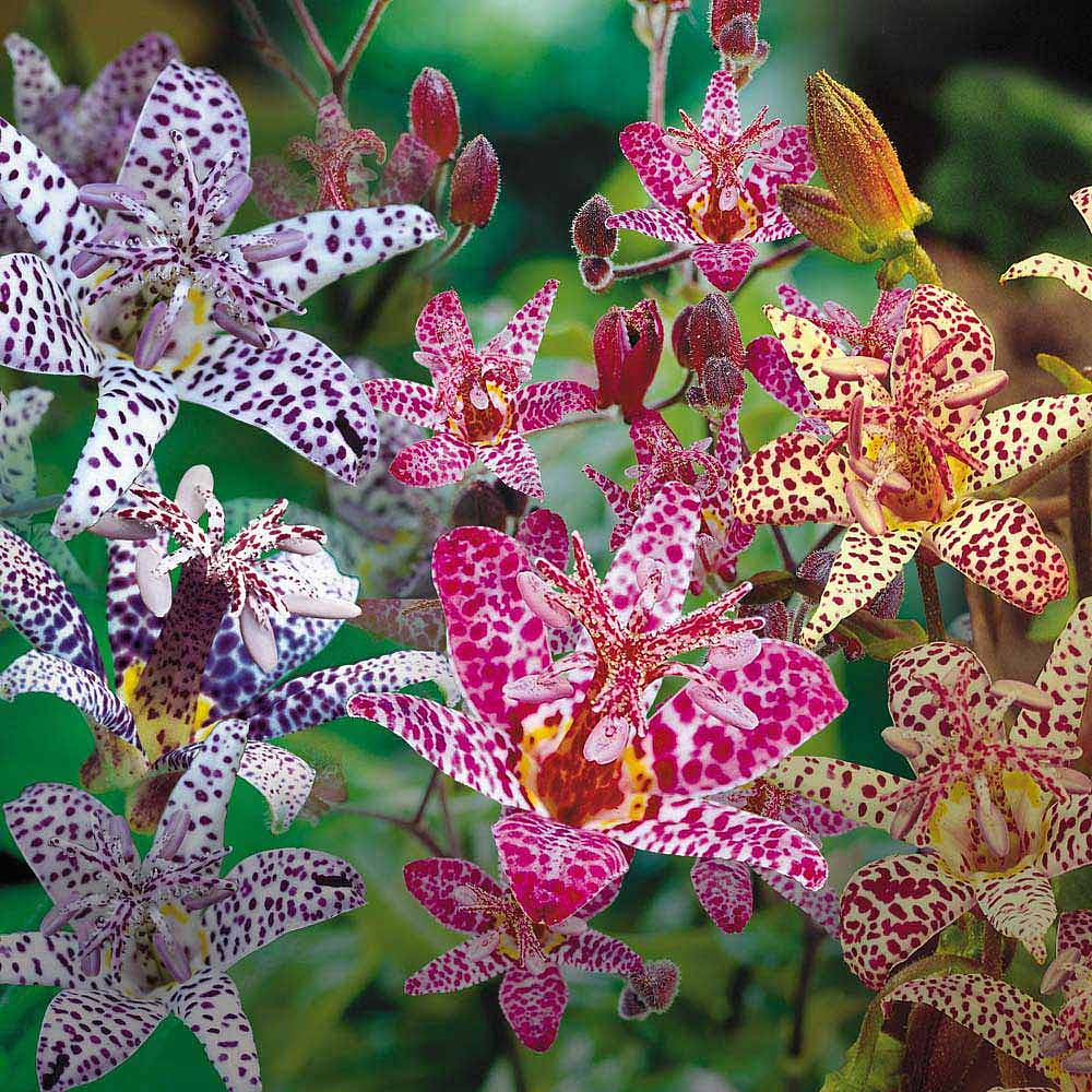 Japanese toad lily collection van meuwen japanese toad lily collectiontricyrtis izmirmasajfo