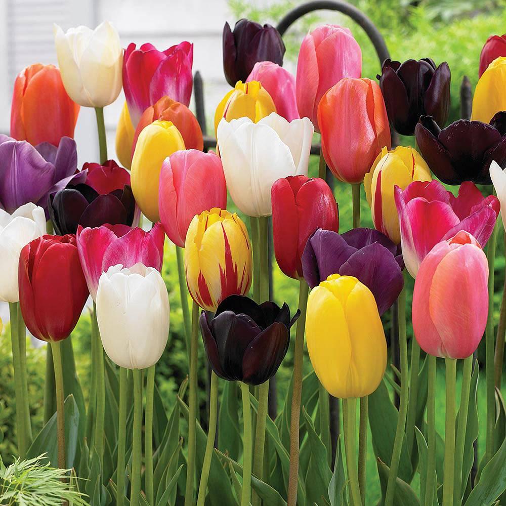 Tulip Bulbs For Sale At Van Meuwen