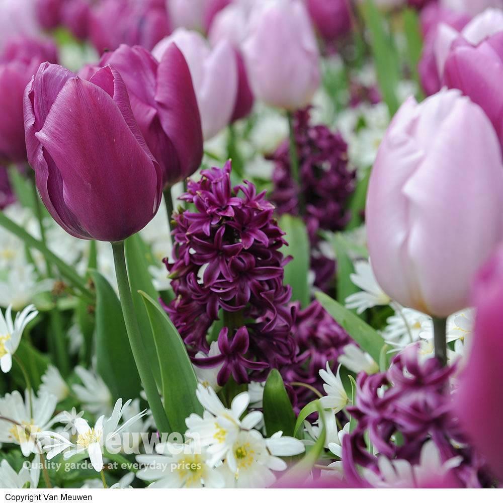 Cheap Anemones Bulbs For Sale Online Buy Anemones Bulbs Van Meuwen