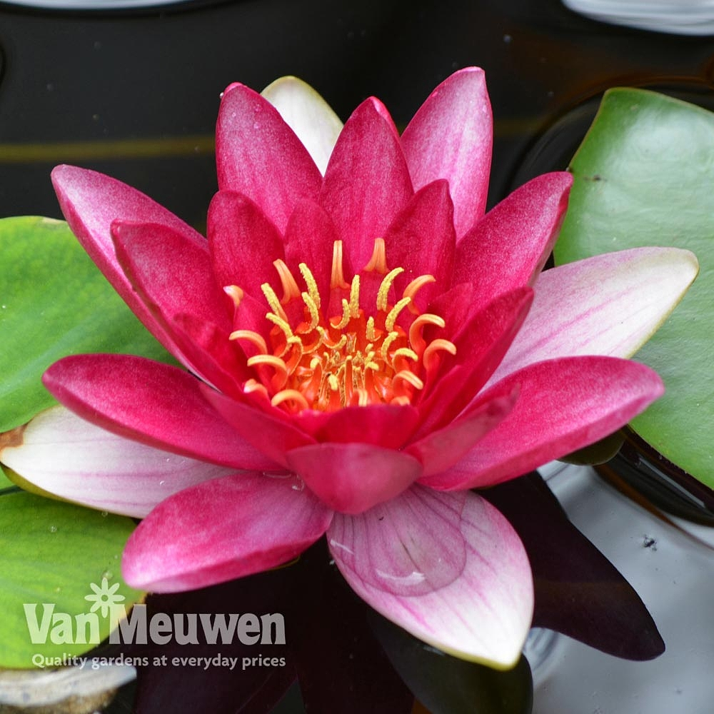 Cheap Water Plants For Sale Online Van Meuwen