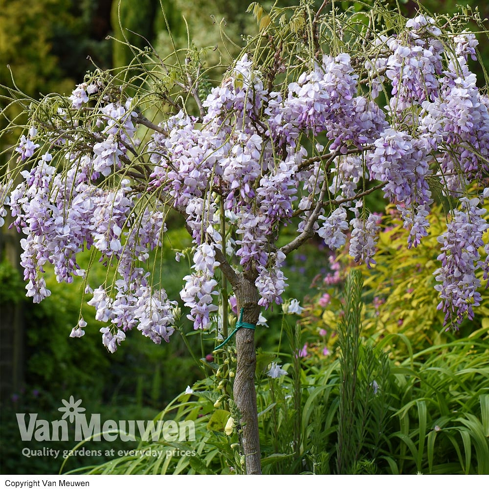 Wisteria Chinese: photos, descriptions, features of planting and care 54