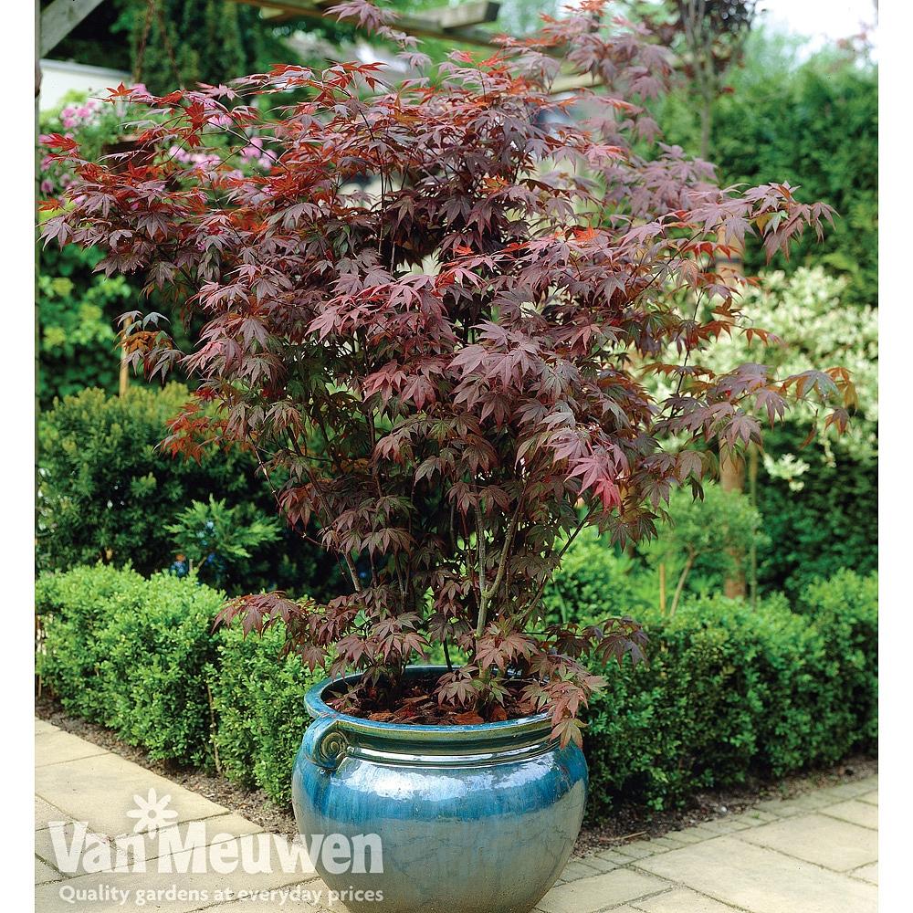 Acer palmatum 'Atropur...