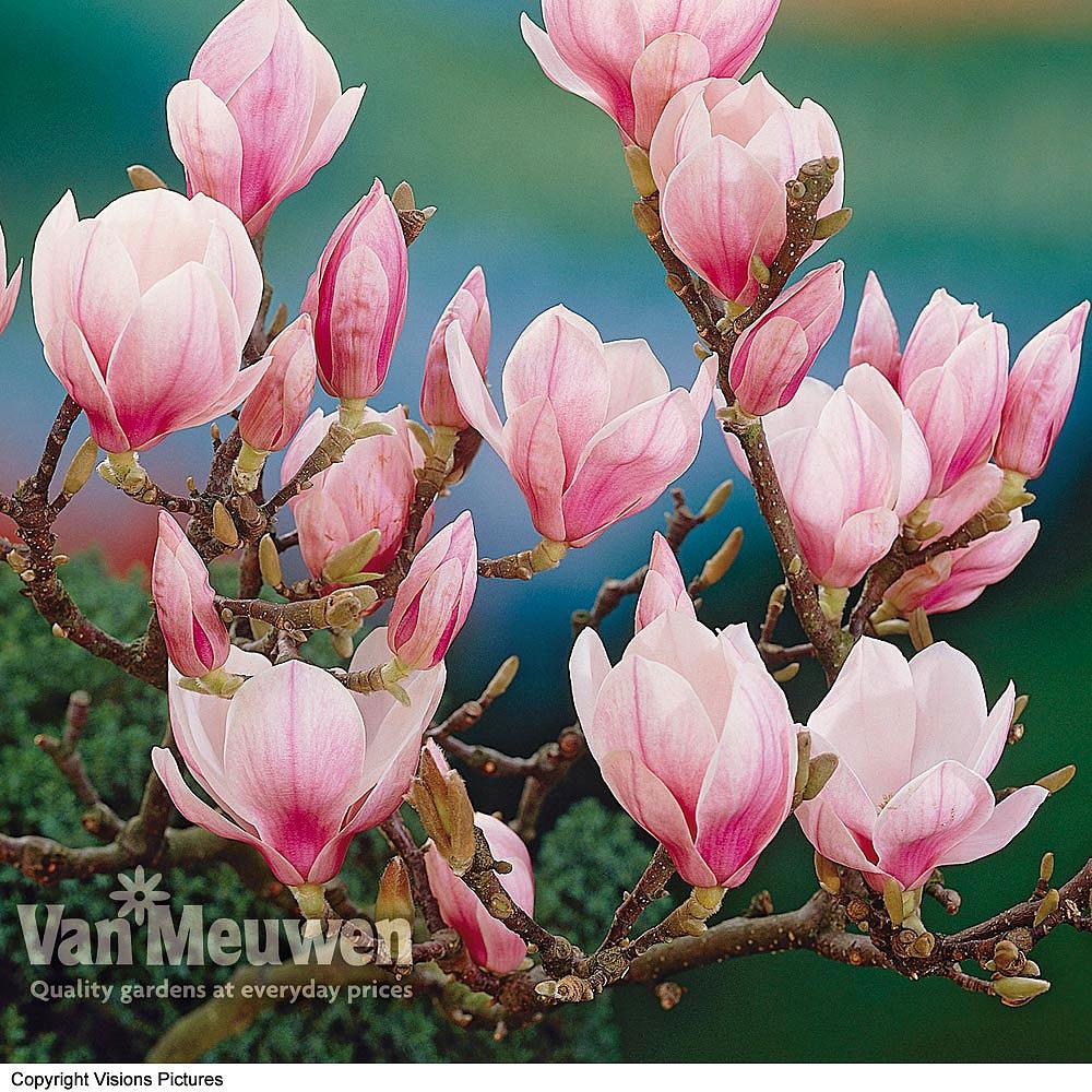 Magnolia Red Lucky Standard Van Meuwen