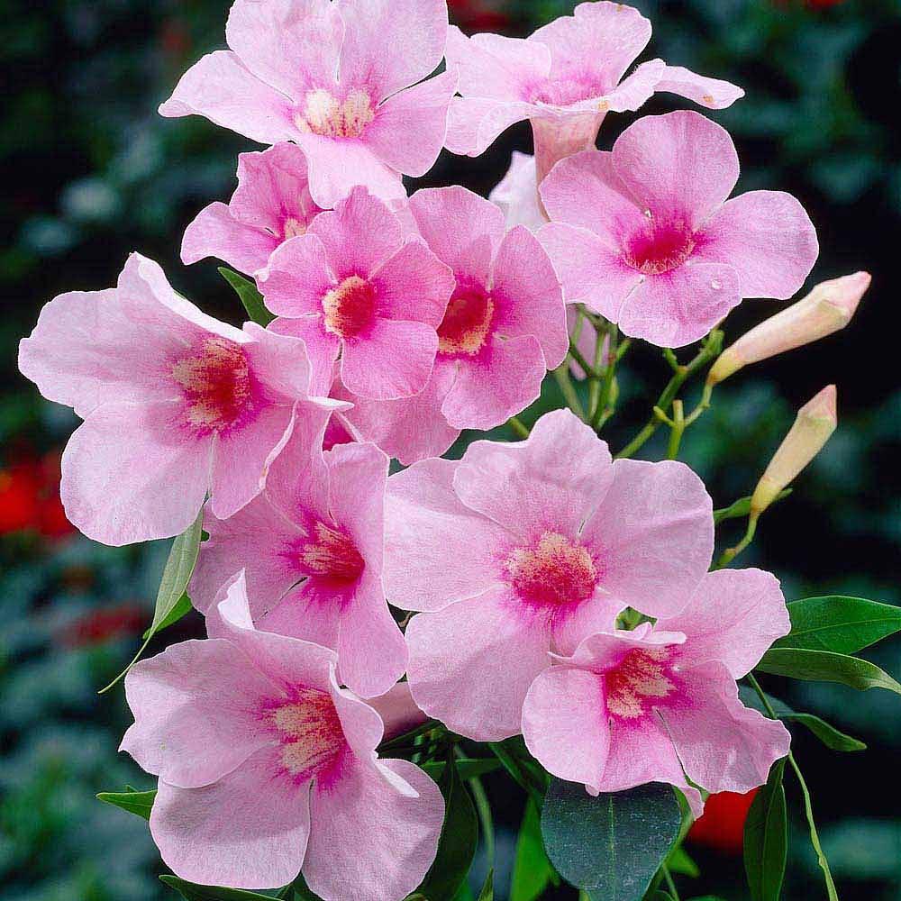 Pandorea Jasminoides Rosea Bower Plant Nonia