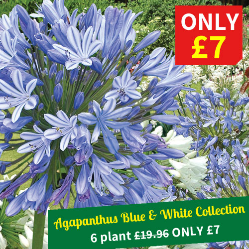 Agapanthus Blue and White Collection - 6 plants for just £7!