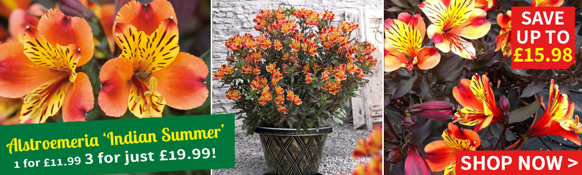 Alstroemeria 'Butterfly Hybrids' - 3 for £4.99