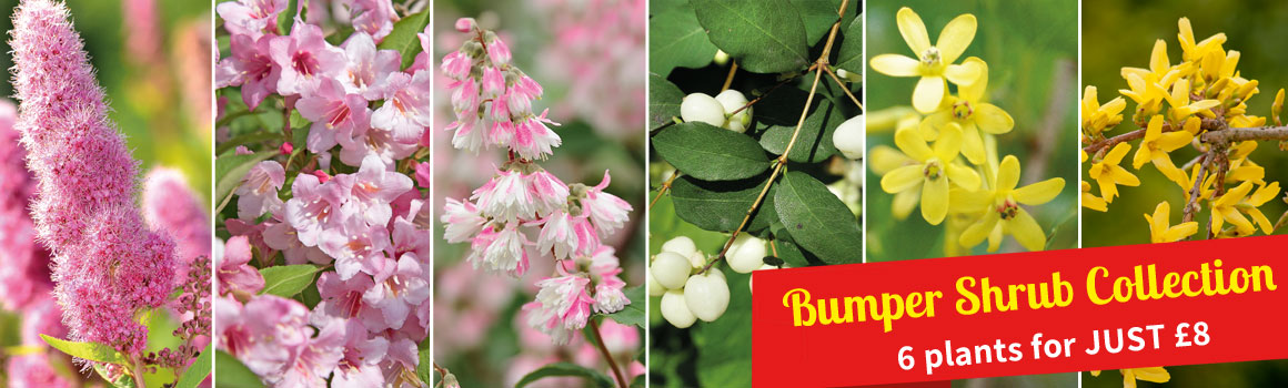 Bumper Shrub Collection - 6 plants for just £8!