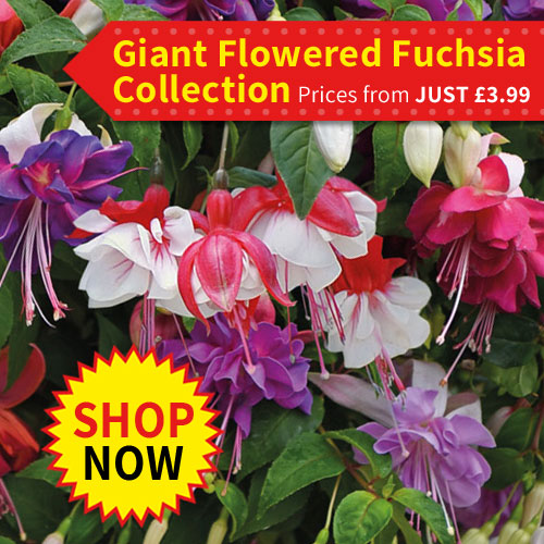 Giant-Flowered Fuchsia Collection