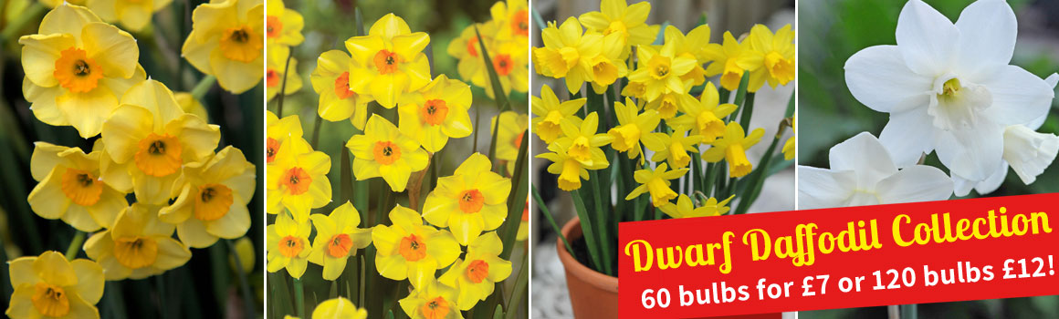 Narcissus Collection - £12 for 120 bulbs!