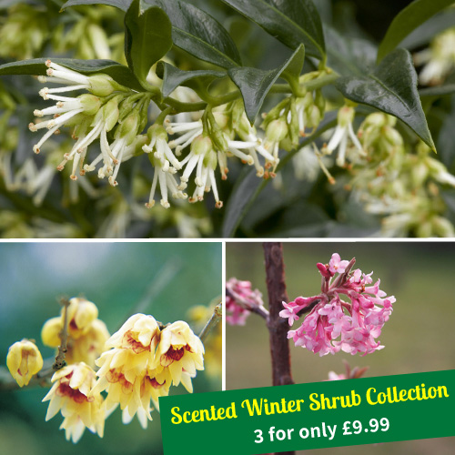 Winter Scented Shrubs  - From only £9.99
