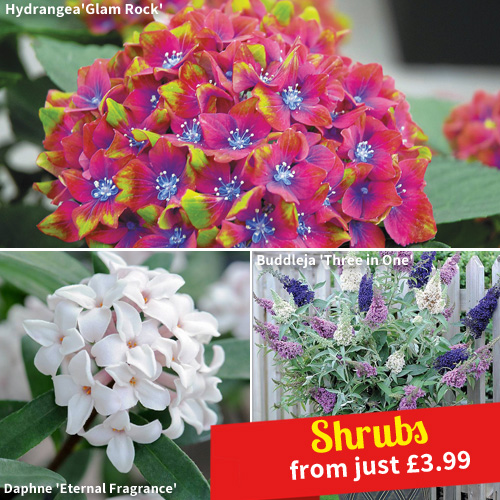 Shrubs from just £3.99