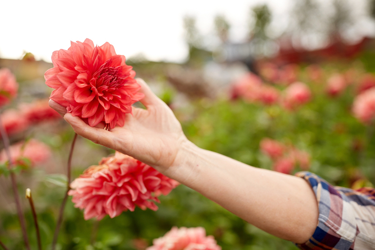 red dahlia with hand touching them