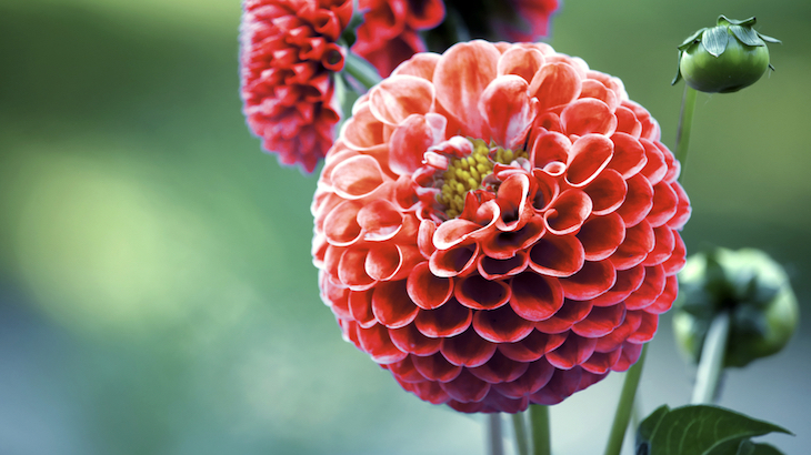 Pinching out dahlias encourages more flowers to grow