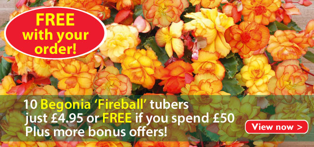 Begonia Fireball just £4.95 or FREE when you spend £50