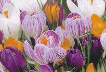 Crocus corms