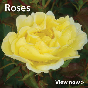 Customer Favourite Large Plants - Roses