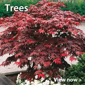 Customer Favourite Large Plants - Trees