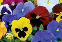 Pansy and Viola Plants