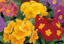Winter Bedding Plants