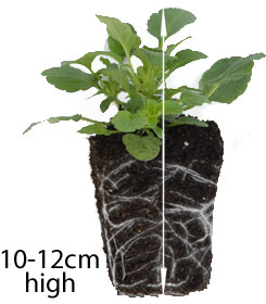 Garden reday plug plant