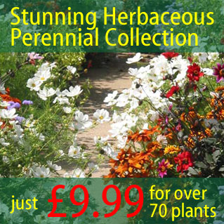 Stunning Herbaceous Perennial Collection - just £9.99