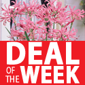 Deal of the week - Nerine 'Pink' from less than 50p per bulb