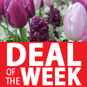 Deal of the week - Tulip,Hyacinth and Anemone Mix