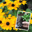 Garden-ready Summer Bedding - Buy any 4 packs and SAVE £20