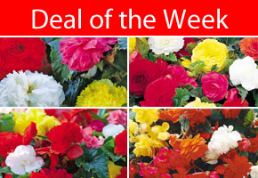 Deal of the Week - Bumper Begonia Collection 40 Tubers only £17.96 - SAVE £12