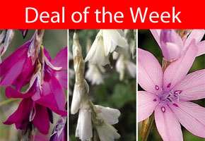 Deal of the Week - Dierama Collection SAVE £21