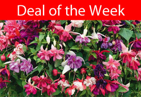 Deal of the Week - Fuchsia Giants just £9.98