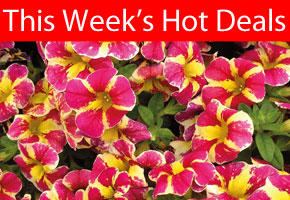 This Week's Hot Deals - including Petunia 'Candy Bouquet'