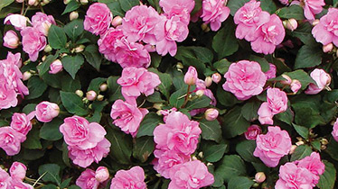 how to plant an annual border
