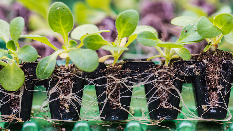 How to plant annual plug plants