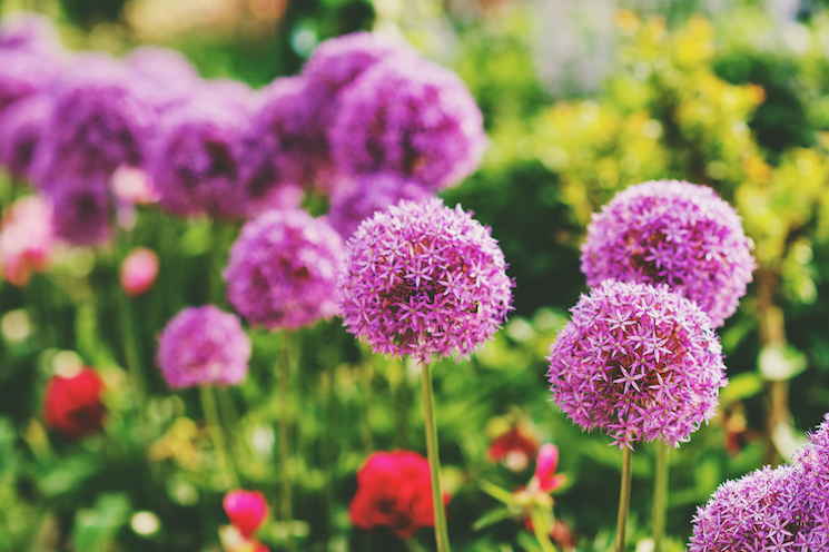 giant alliums love to be planted deep - around 30cm