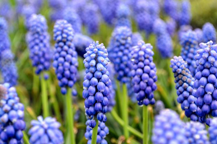 grape hyacinths are medium-depth bulbs