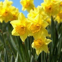 daffodils top ten tips