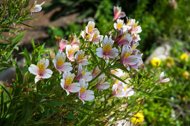 exotic alstroemeria on sunny day