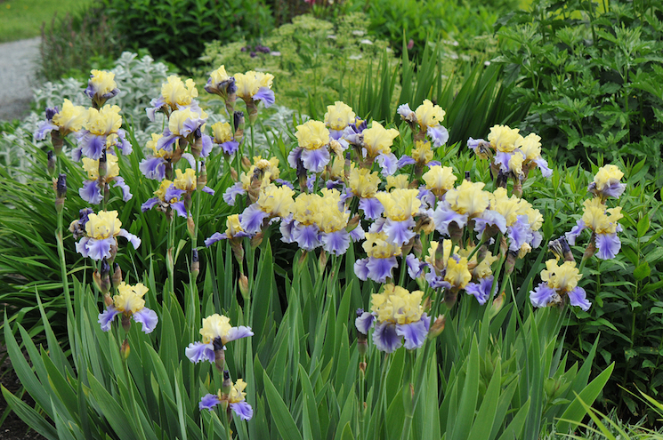 purple and cream bearded iris